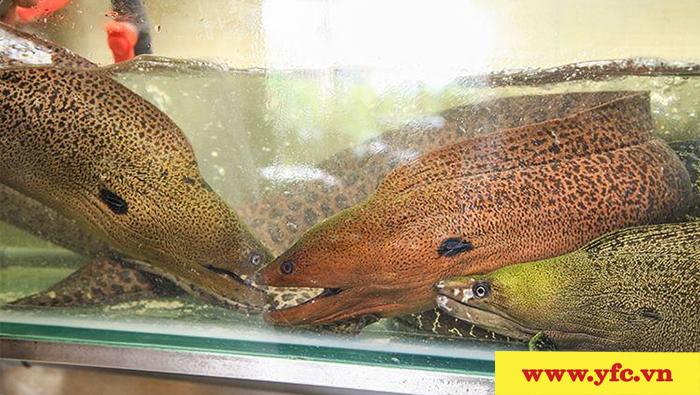 Cá chình biển - Loại cá được nhiều người ưa chuộng