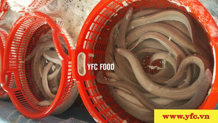 YFC cung cấp cá mút đá/cá ninja sống trên toàn quốc