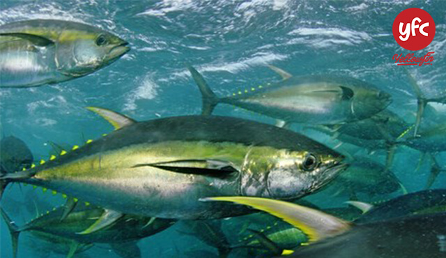 Cá ngừ Nano