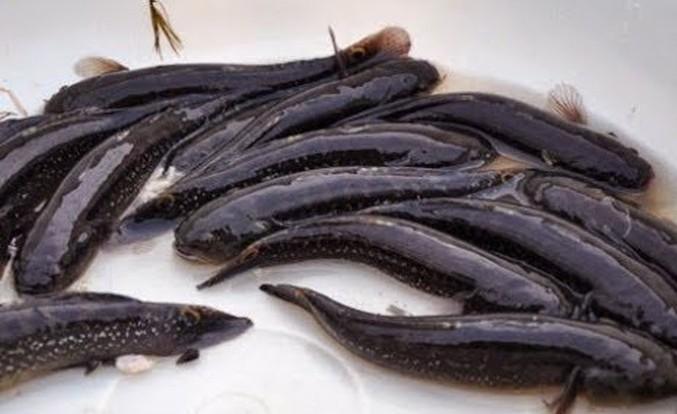 Cá bống bớp